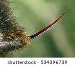 Bumble Bee Stinger  Abdomen ...