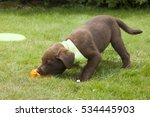 Stock photo sweet brown labrador puppy playing in the garden 534445903