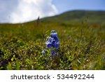 Flowers Mountains   Bellflower...