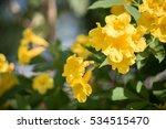 Yellow Bell  Yellow Elder ...