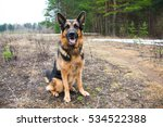 German Shepherd Dog In A...