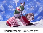 Stock photo holiday portrait of a pitbull and a sphynx cat in christmas sweaters with blue snow flake background 534695599
