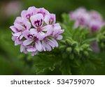 flower head of sweet scented... | Shutterstock . vector #534759070