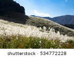 Japanese Pampas Grass Field In...