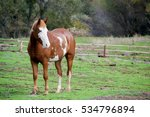 Small photo of Frontal lateral view of pinto American Saddle horse in the field looking to the side, alert, ears pointed forward