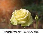 fresh yellow roses in green... | Shutterstock . vector #534827506