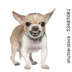 Stock photo angry chihuahua growling years old in front of white background 53485081