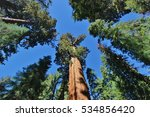 Redwoods Reaching For The Sky