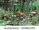 Boletus Mushrooms In The Fores...