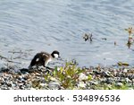 young wild duck goes along the... | Shutterstock . vector #534896536