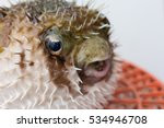 Porcupinefish Closeup Poison...