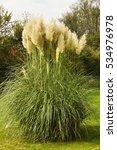 Pampas Grass Plant  Cortaderia...