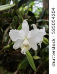white orchid   tropical exotic... | Shutterstock . vector #535054204