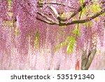 Beautiful Wistaria Blossom In...