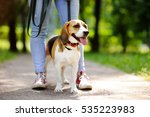Stock photo young woman walking with beagle dog in the summer park obedient pet with his owner 535223983