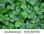 Centella Asiatica Is A Herb...