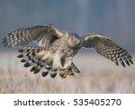 northern goshawk  accipiter...   Shutterstock . vector #535405270