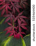 Small photo of Japanese red Maple, Smooth Japanese-maple, dark-red leaves with raindrops (Acer palmatum Atropurpureum)
