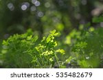 Clover Plants In The Woods...