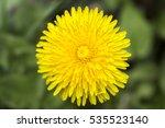 Yellow Dandelion Flower  Close...