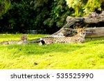 cheetah lounging on grass next... | Shutterstock . vector #535525990