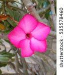 Small photo of Desert Rose Tropical flower beautiful pink adenium in garden
