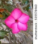 Small photo of Desert Rose Tropical flower beautiful pink adenium in garden