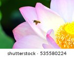 blossom pink lotus flower in
