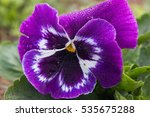 Beautiful Pansy Flower In...