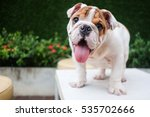 Stock photo funny english bulldog playing on table 535702666