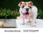 Stock photo funny english bulldog playing on table 535702699