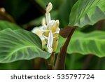 closeup of prayer plant ... | Shutterstock . vector #535797724
