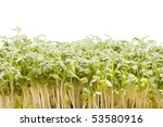 cultivated cress | Shutterstock . vector #53580916