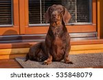 Dachshund Waiting For The Host...