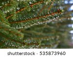 Small photo of dewdrops hang on tenterhooks spruce