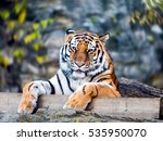 Tiger Portrait. Tiger Lying Pu...