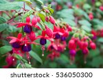 Fuchsia Flowers.beautiful...
