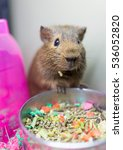 Small photo of Closeup of cute brown guinea pig with whiskers eating from bowl