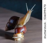 Small photo of Snail albino and normal play with each other on the table