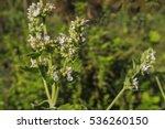 Catnip Nepeta Cataria Flowers