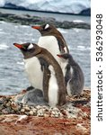 Small photo of Adelie penguin chicks in a pebble nests with their parents in Antarctica