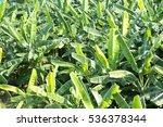 banana field from top view. | Shutterstock . vector #536378344