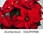 A Close Up Of A Red Poinsettia...