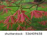 Small photo of A spring view of new leaves of the Aesculus x neglecta 'Erythroblastos'
