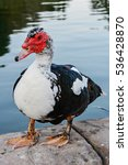 Muscovy Duck Stands On A...