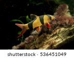 Clown Loach  Chromobotia...