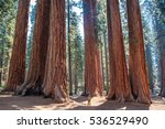 scale of the giant sequoias ... | Shutterstock . vector #536529490
