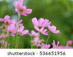 cosmos flowers background... | Shutterstock . vector #536651956