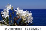 White Oleander Flowers  Nerium...