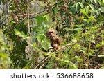 Mother Monkey Feeding On Leaf...